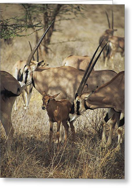 Socialize Greeting Cards - A Female Oryx Nuzzles Her Fawn Greeting Card by Marc Moritsch