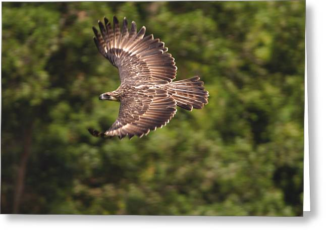 Flying Animal Greeting Cards - A Female Philippine Eagle Leaving Greeting Card by Klaus Nigge