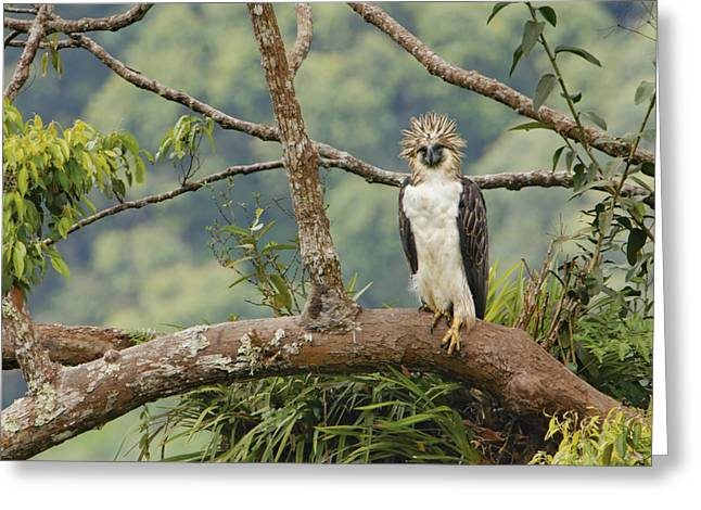 Apo Greeting Cards - A Female Philippine Eagle Perches Greeting Card by Klaus Nigge