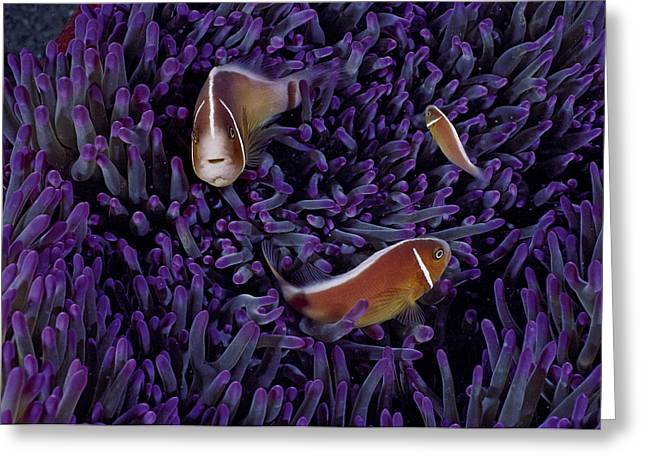 Male Domination Greeting Cards - A Female Pink Clownfish Asserts Greeting Card by David Doubilet