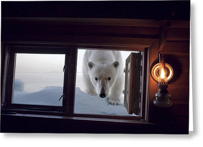Cabin Window Greeting Cards - A Female Polar Bear Peering Greeting Card by Paul Nicklen