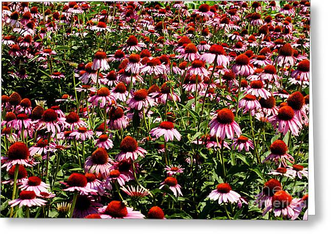 Bruster Greeting Cards - A Field of Echinacea Greeting Card by Clayton Bruster