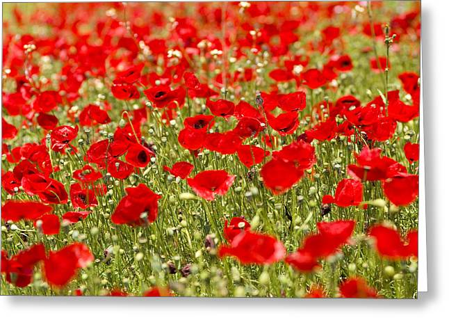 A Field Of Poppies Greeting Card by Richard Nowitz