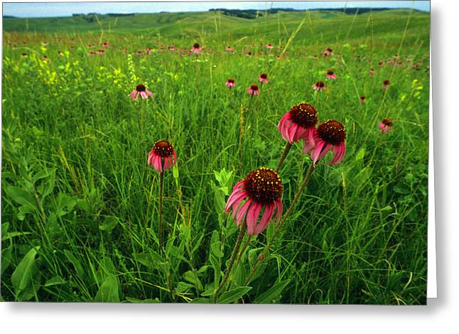 A Field Of Purple Coneflowers Greeting Card by Annie Griffiths