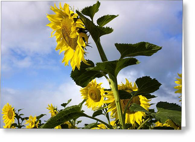 Overcast Day Greeting Cards - A field of Sunflowers  Auvergne. France Greeting Card by Bernard Jaubert