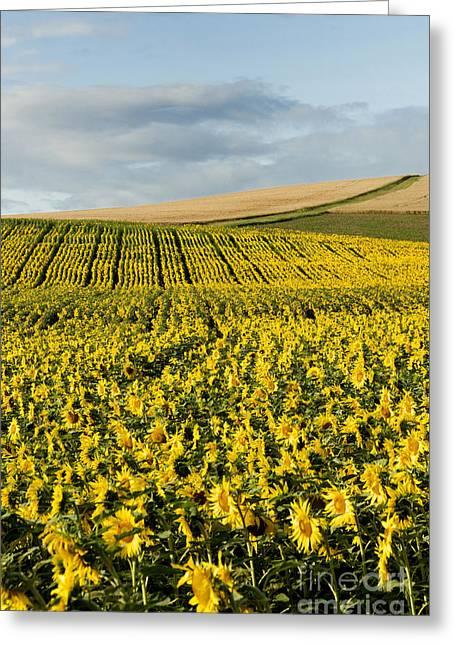 Field. Cloud Greeting Cards - A field of Sunflowers Greeting Card by Bernard Jaubert