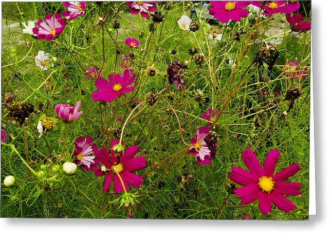 Chianti Greeting Cards - A Field Of Wild Flowers Growing Greeting Card by Todd Gipstein