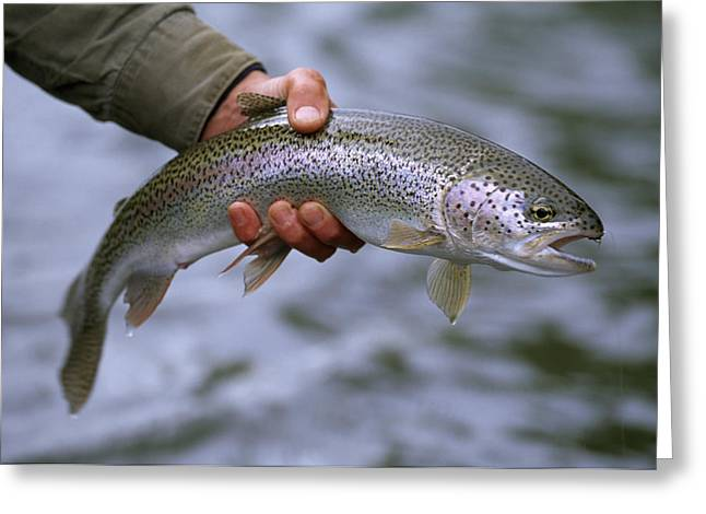 Rainbow Trout Greeting Cards - A Fisherman Holding A Rainbow Trout Greeting Card by Michael Melford