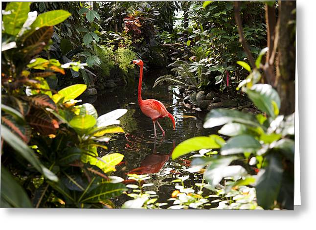 Exoticism Greeting Cards - A Flamingo Wades In Shallow Water Greeting Card by Taylor S. Kennedy