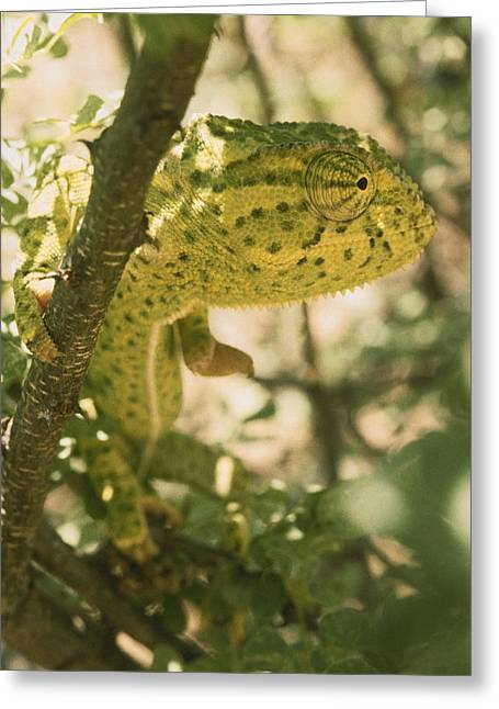 Dappled Light Greeting Cards - A Flap-necked Chameleon Well Greeting Card by Jason Edwards