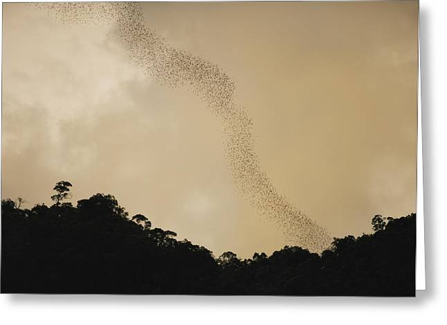 Brassey Greeting Cards - A Flight Of Bats Streams From A Dark Greeting Card by Mattias Klum