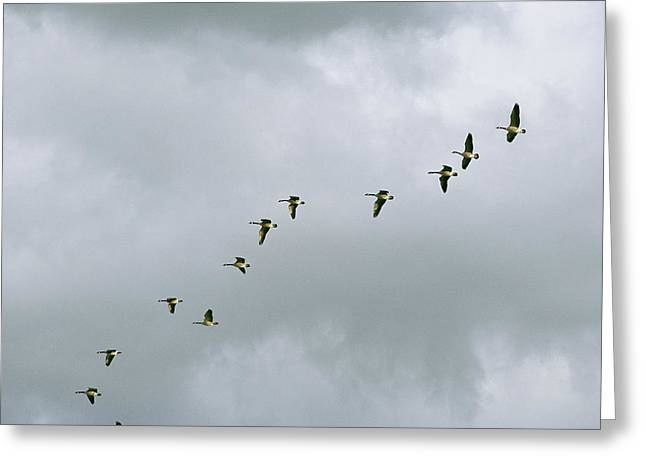 Animals In Action Greeting Cards - A Flock Of Canada Geese In Flight Greeting Card by Marc Moritsch