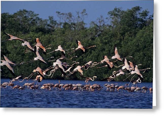 A Flock Of Flamingos Phoenicopterus Greeting Card by Kenneth Garrett