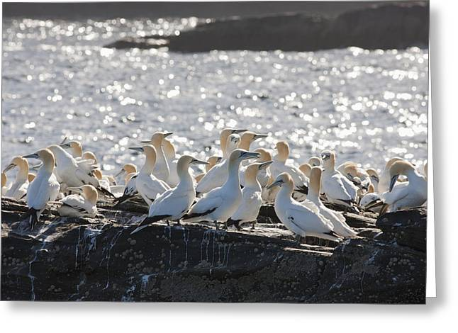 Seabirds Greeting Cards - A Flock Of Gannets Standing On A Rock Greeting Card by John Short