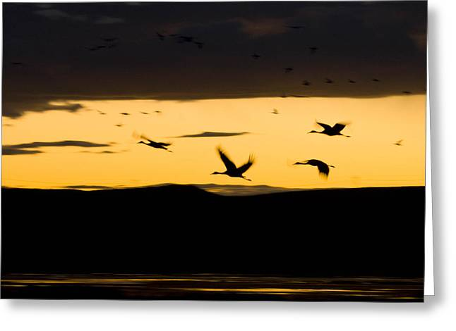 A Flock Of Sandhill Cranes Grus Greeting Card by Ralph Lee Hopkins