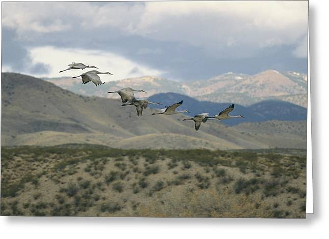 Animals In Action Greeting Cards - A Flock Of Sandhill Cranes In Flight Greeting Card by Marc Moritsch