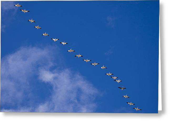 The Flight Of The Snow Geese Greeting Cards - A Flock Of Snow Geese Chen Greeting Card by Ralph Lee Hopkins