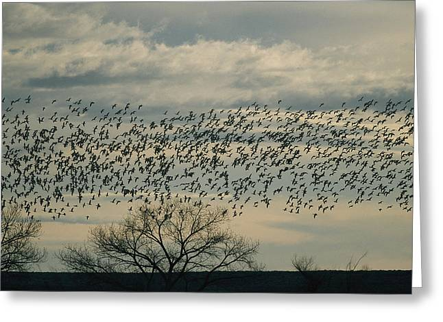 Animals In Action Greeting Cards - A Flock Of Snow Geese In Flight Greeting Card by Marc Moritsch