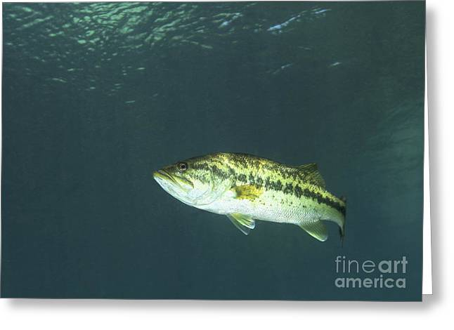 Black Bass Greeting Cards - A Florida Largemouth Bass In The Clear Greeting Card by Terry Moore