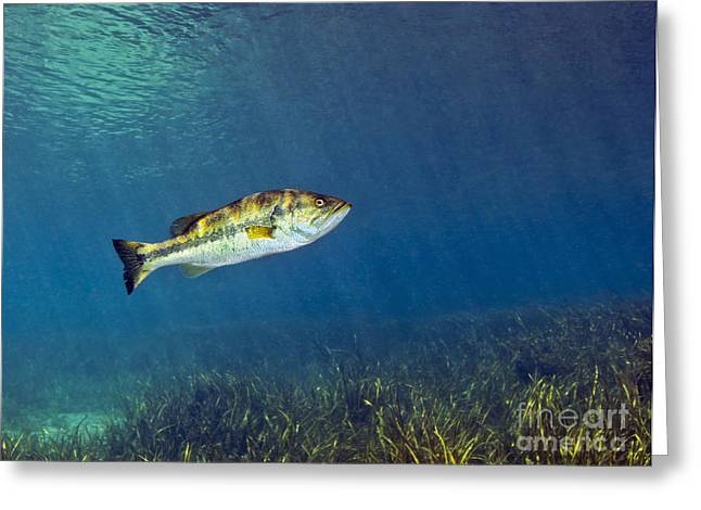 Black Bass Greeting Cards - A Florida Largemouth Bass Swims Greeting Card by Terry Moore