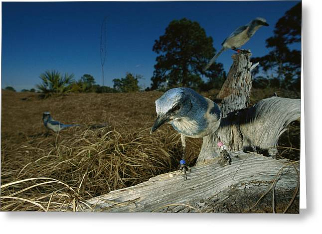 Thaxton Greeting Cards - A Florida Scrub Jay Aphelocoma Greeting Card by Joel Sartore