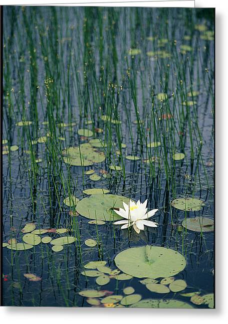 Middle Atlantic States Greeting Cards - A Flowering Water Lily In Black Greeting Card by Skip Brown
