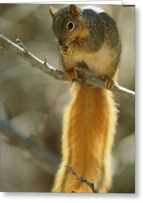 Sciurus Niger Greeting Cards - A Fox Squirrel Balances On A Tree Limb Greeting Card by Joel Sartore
