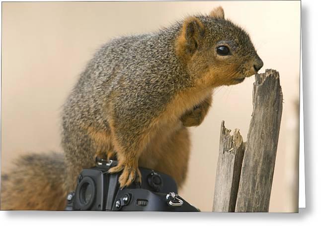 Sciurus Niger Greeting Cards - A Fox Squirrel Sciurus Niger Sits Greeting Card by Joel Sartore