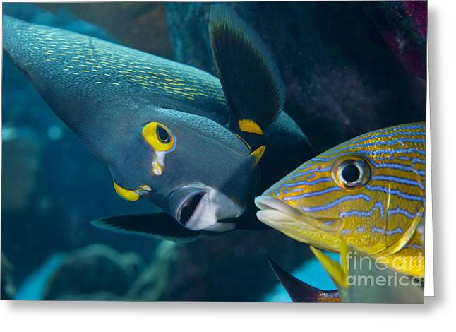 Undersea Photography Greeting Cards - A French Angelfish Swims Up Close Greeting Card by Terry Moore