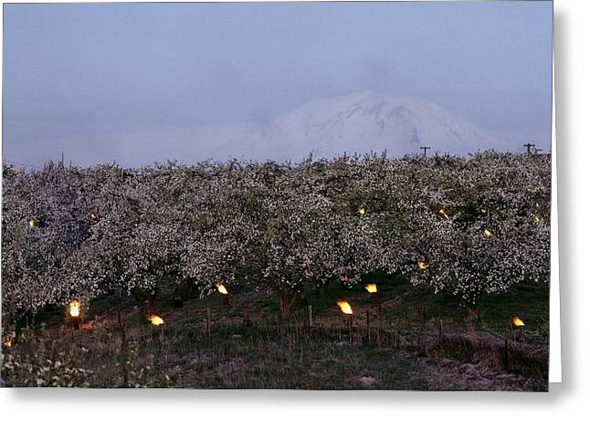 Farmers And Farming Greeting Cards - A Fruit Orchard With Smudge Fires Greeting Card by Sisse Brimberg