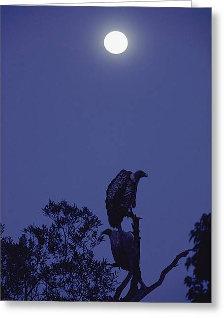 Vulture Silhouettes Greeting Cards - A Full Moon Over Vultures Gyps Species Greeting Card by Jason Edwards