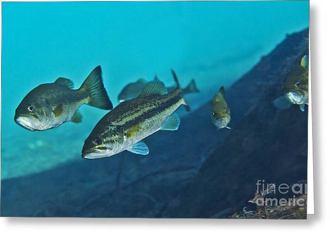 Black Bass Greeting Cards - A Gang Of Largemouth Bass Swimming Greeting Card by Terry Moore