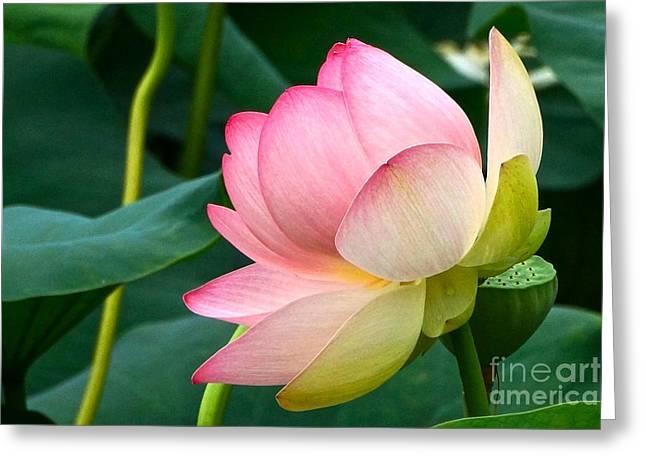 Lotus Full Bloom Greeting Cards - A Gentle Unravelling Greeting Card by Byron Varvarigos