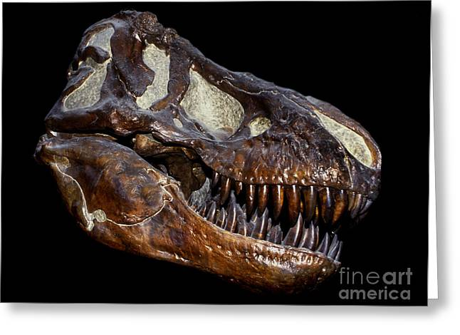 Primeval Greeting Cards - A Genuine Fossilized Skull Of A T. Rex Greeting Card by Mark Stevenson