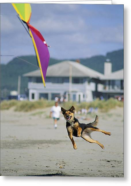 Kites Festival Greeting Cards - A German Shepherd Leaps For A Kite Greeting Card by Phil Schermeister