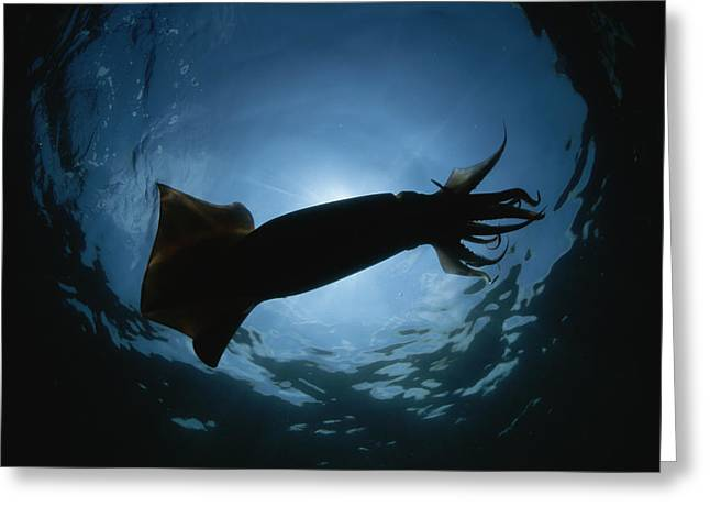 Giant Squid Greeting Cards - A Giant Or Humboldt Squid In Silhouette Greeting Card by Brian J. Skerry