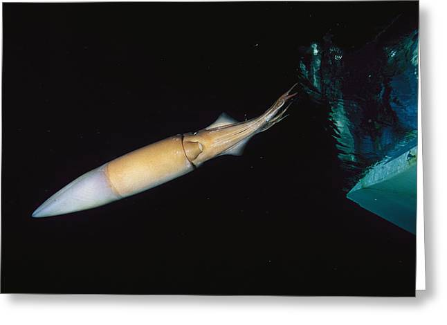 Giant Squid Greeting Cards - A Giant Or Humboldt Squid Swimming Greeting Card by Brian J. Skerry