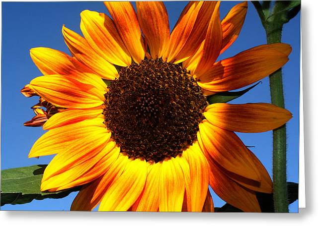Yellow Sunflower Greeting Cards - A Glimpse of Sunshine Greeting Card by Marjorie Imbeau