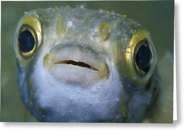 Huge Eyes Greeting Cards - A Globe Fish Also Known As A Puffer Greeting Card by Jason Edwards