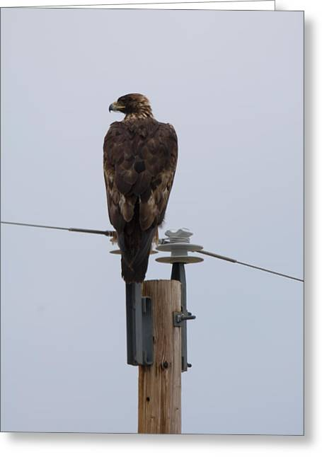 Lewistown Greeting Cards - A Golden Eagle Sits On Top Of A Power Greeting Card by Joel Sartore