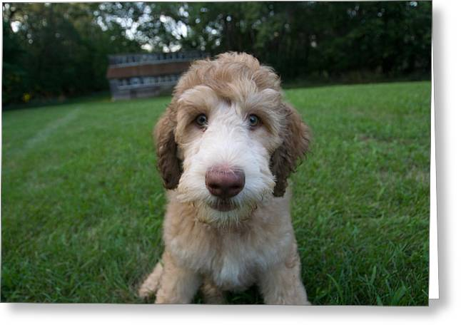Goldendoodle Greeting Cards - A goldendoodle puppy Greeting Card by Joel Sartore