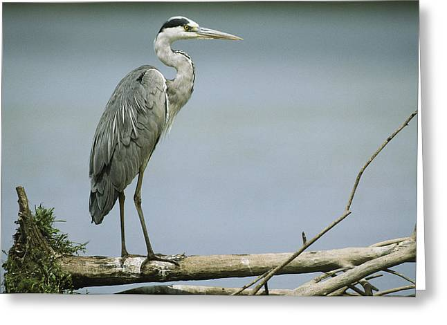 Gray Heron Greeting Cards - A Graceful Gray Heron Standing On A Log Greeting Card by Klaus Nigge