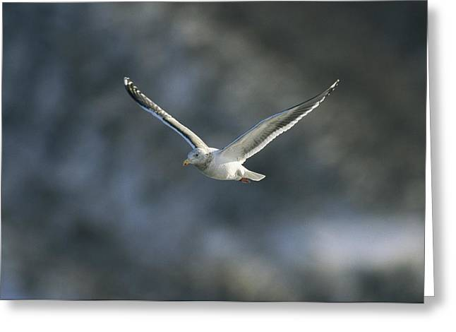 National Peoples Greeting Cards - A Graceful Gull In Flight Greeting Card by Klaus Nigge