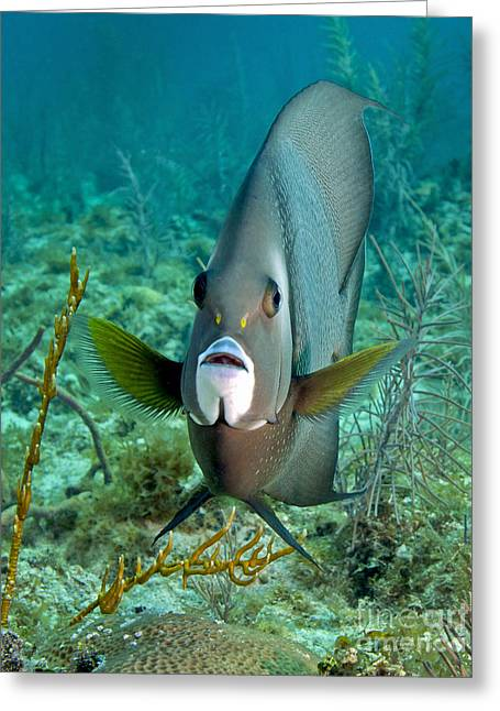 Recently Sold -  - Ocean Photography Greeting Cards - A Gray Angelfish In The Shallow Waters Greeting Card by Michael Wood