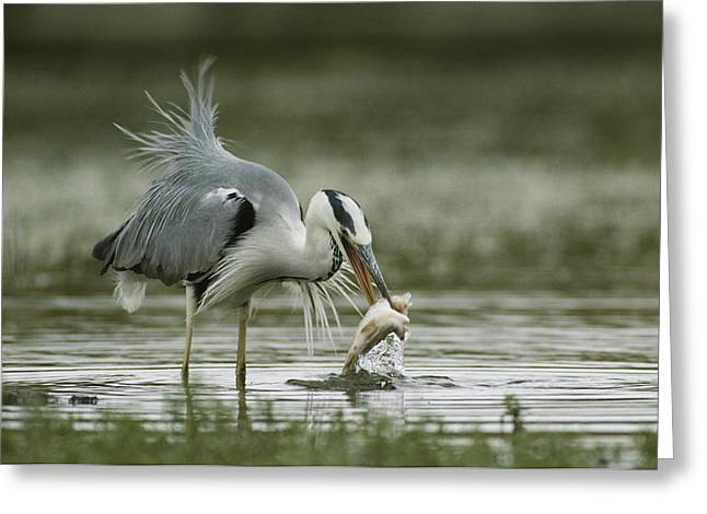 Ardea Greeting Cards - A Gray Heron With A Freshly Caught Fish Greeting Card by Klaus Nigge