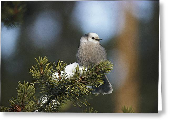 Bask Greeting Cards - A Gray Jay, Also Known As A Canada Jay Greeting Card by Michael S. Quinton