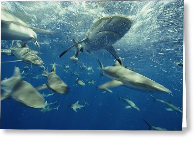 Baker Island Greeting Cards - A Gray Reef Shark And Others Greeting Card by Bill Curtsinger