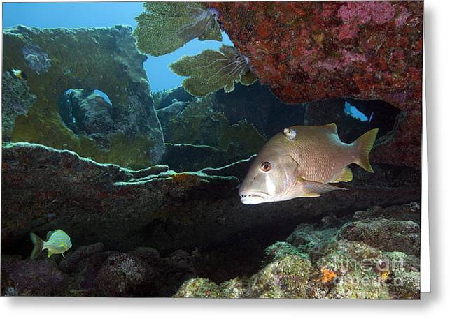 Undersea Photography Greeting Cards - A Gray Snapper Swims Greeting Card by Terry Moore