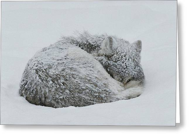 Bask Greeting Cards - A Gray Wolf, Canis Lupus, Curls Greeting Card by Jim And Jamie Dutcher