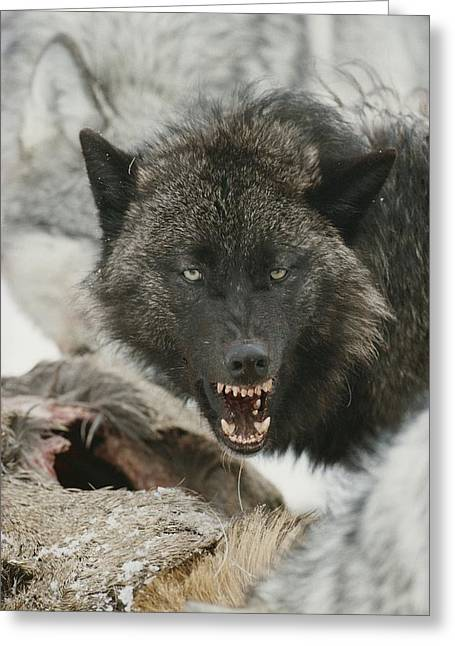 Hostility Greeting Cards - A Gray Wolf, Canis Lupus, Growls Greeting Card by Jim And Jamie Dutcher